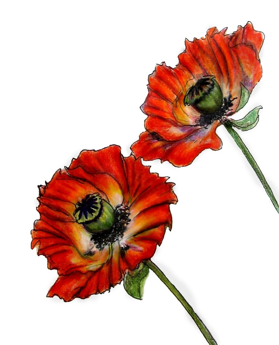 Download Drawings Of Poppies Clipart Poppy Drawing Painting Poppy