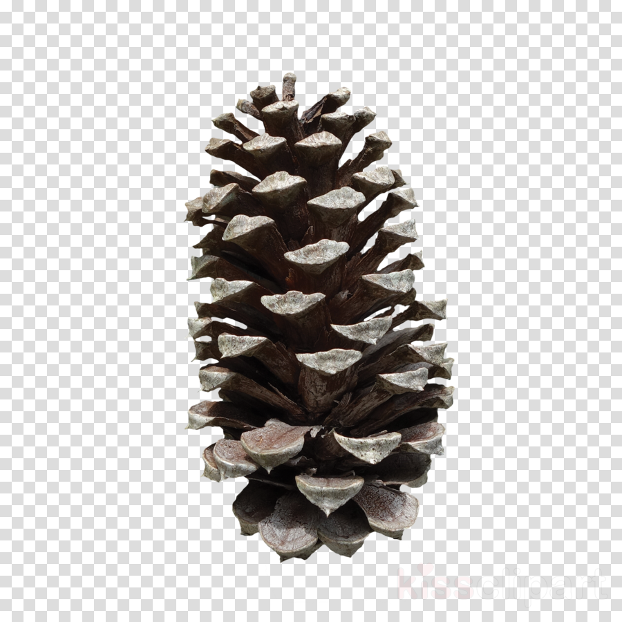 Pine clipart Fir Conifer cone Lodgepole pine