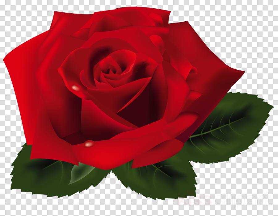 red rose png clipart Rose Clip art