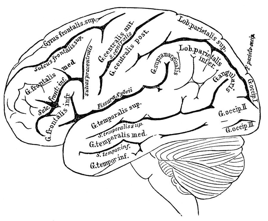 Download anatomy coloring pages brain clipart The Anatomy Coloring ...