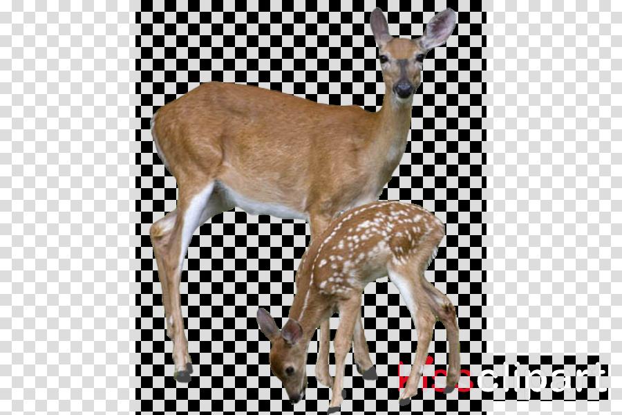 deer transparent clipart White-tailed deer