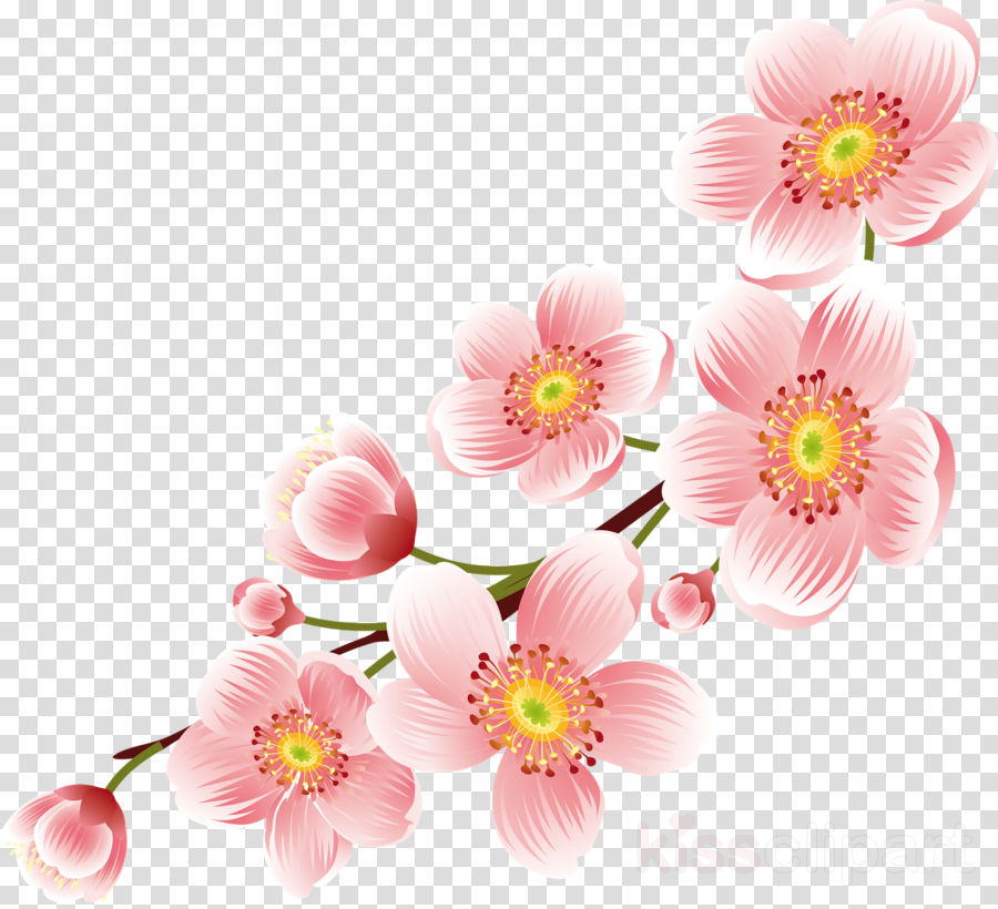 cherry flower .png clipart Cherry blossom