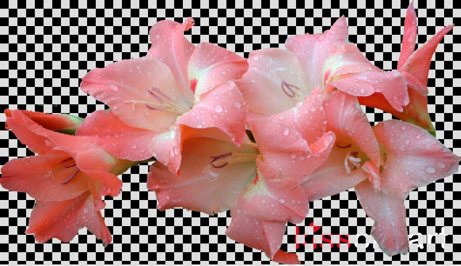 gladiolus flower png pink clipart Gladiolus Flower