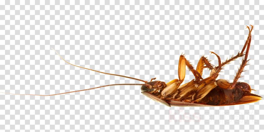 Cockroach clipart American cockroach Insect