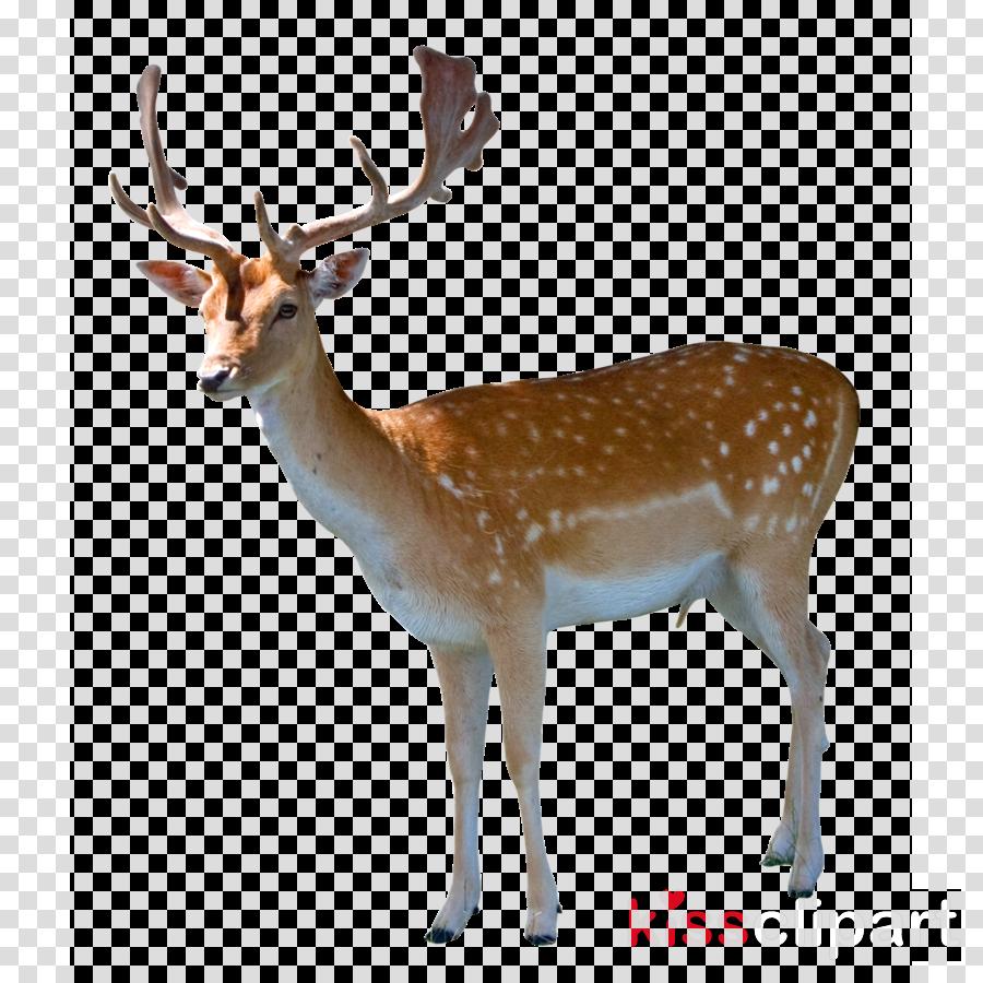 deer png clipart White-tailed deer Moose