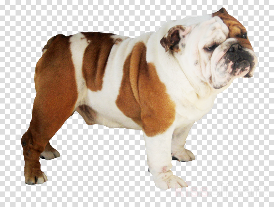 bulldog transparent clipart French Bulldog Pug