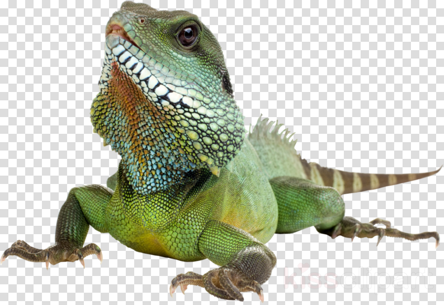 100 facts: reptiles & amphibians clipart Reptile Lizard Green iguana