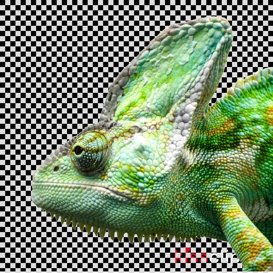 png iguana clipart Green iguana Desktop Wallpaper