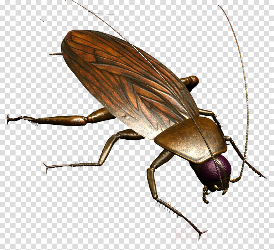 Cockroach clipart Cockroach Insect