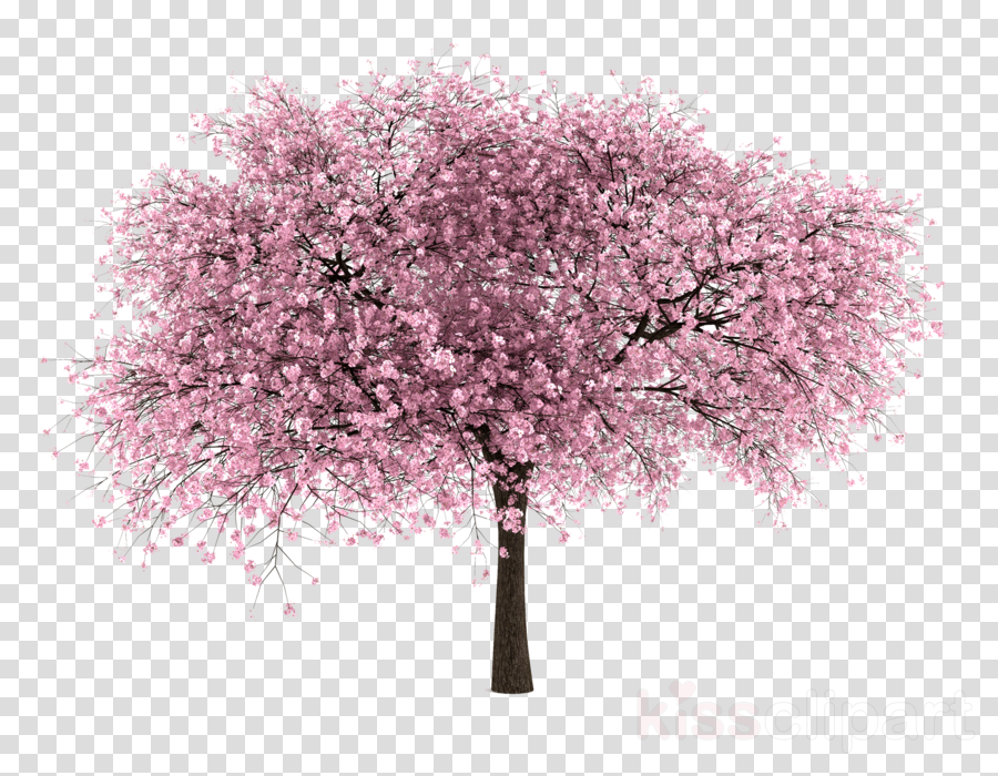 cherry tree png clipart Cherry blossom