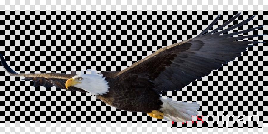 flying eagle png clipart Bald eagle Clip art