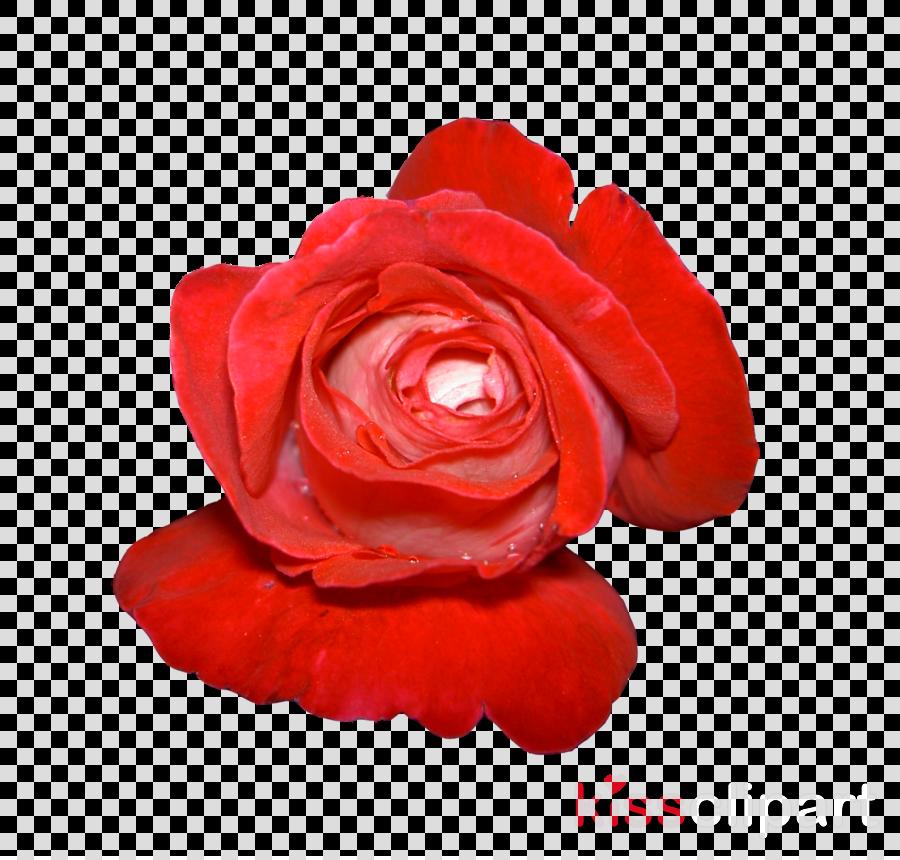 Painting clipart Garden roses Flower
