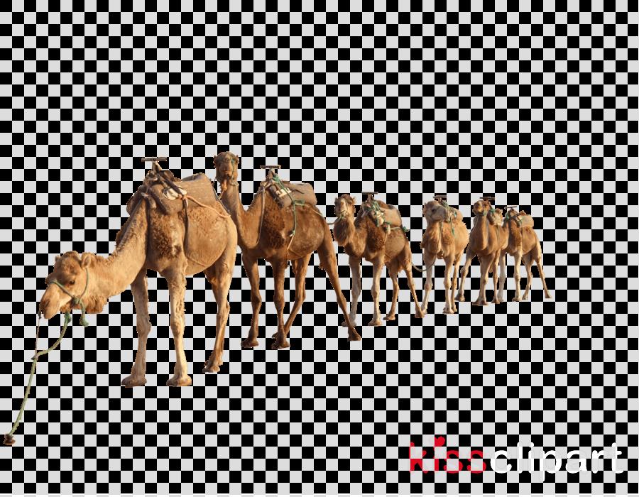 camels png clipart Dromedary Clip art