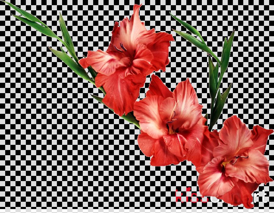 gladiolus clipart Gladiolus Iris family Clip art