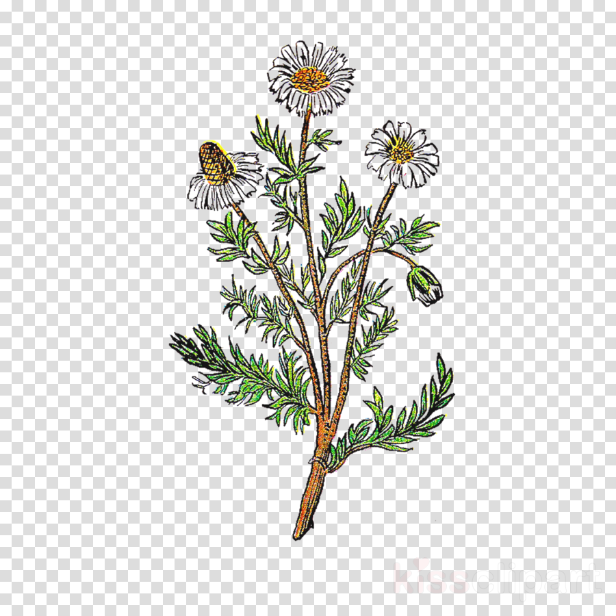 chamomile clip art clipart Chamomile Clip art