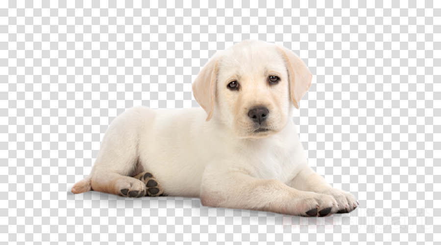 advance puppy plus growth all breeds chicken 3kg clipart Puppy Labrador Retriever Golden Retriever