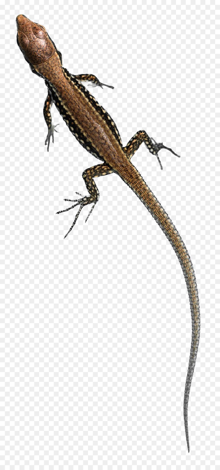 Common wall lizard clipart Agamas Lizard Reptile