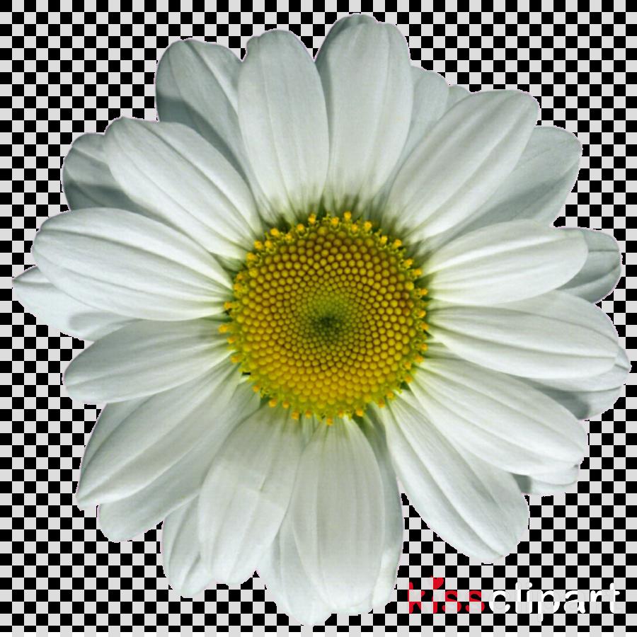 Common daisy clipart Common daisy Daisy family Clip art