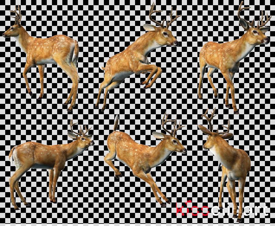 musk deer clipart Roe deer White-tailed deer