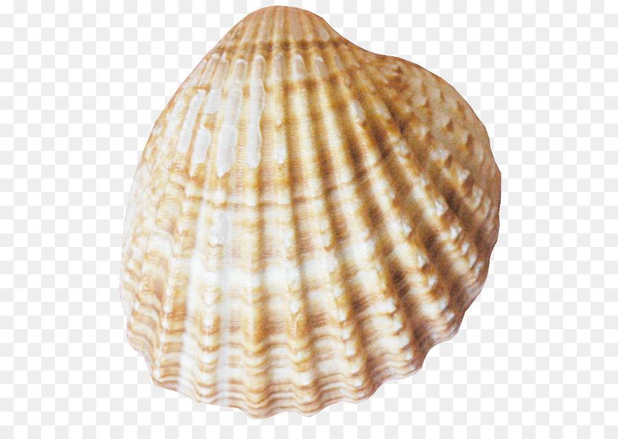 Seashell clipart Seashell Cockle