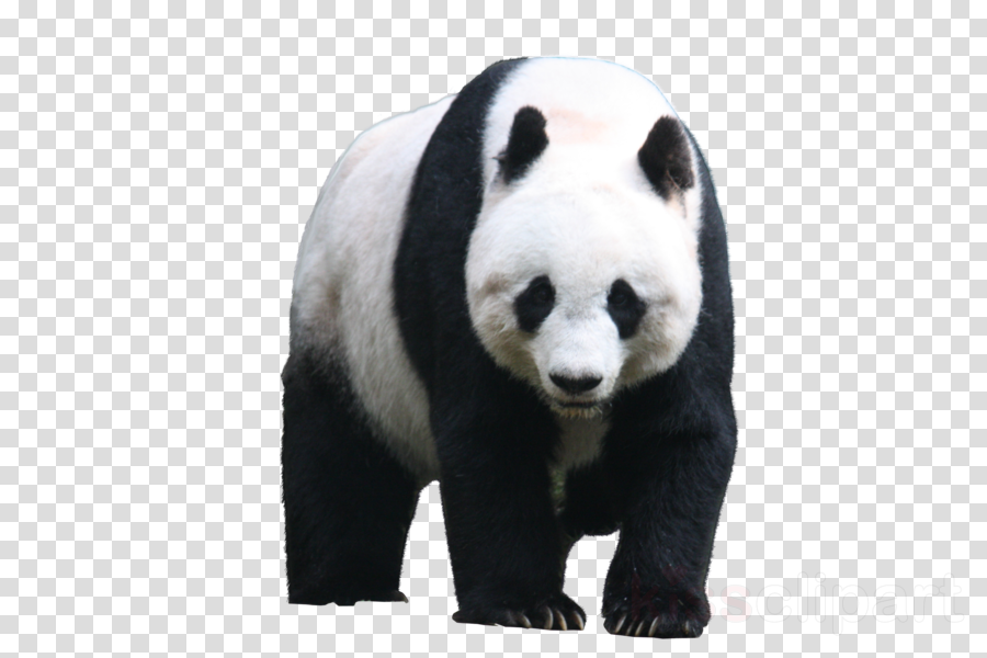 giant panda png clipart Giant panda Bear Red panda