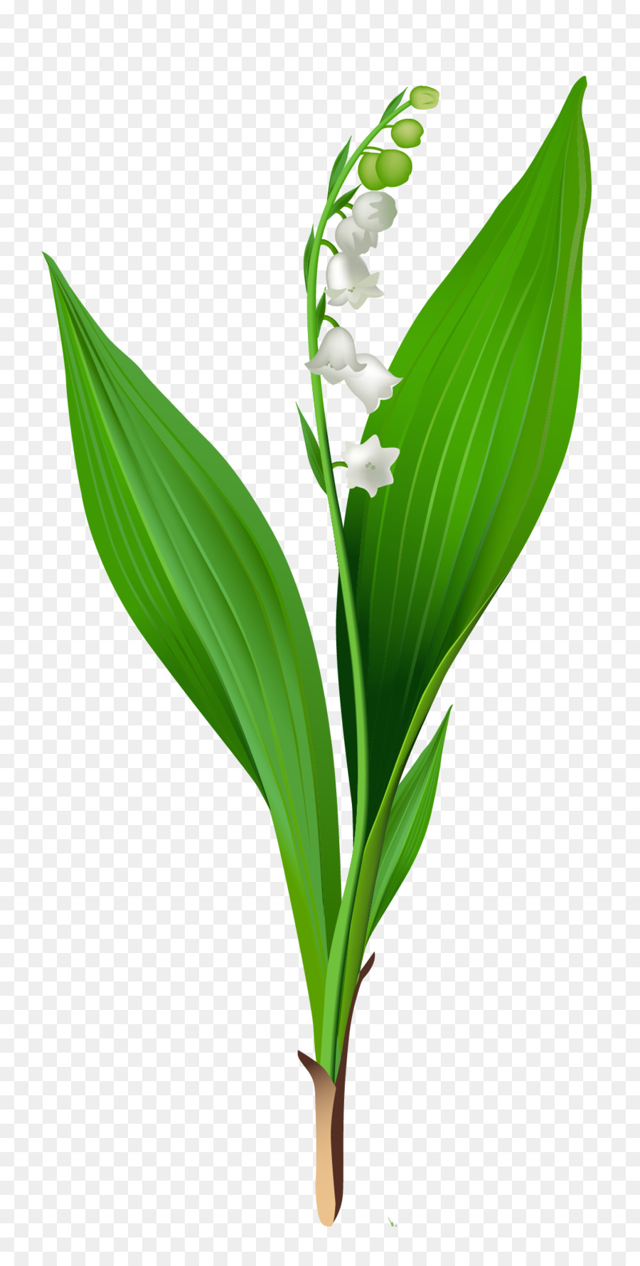 lily of the valley clipart Lily of the valley Clip art
