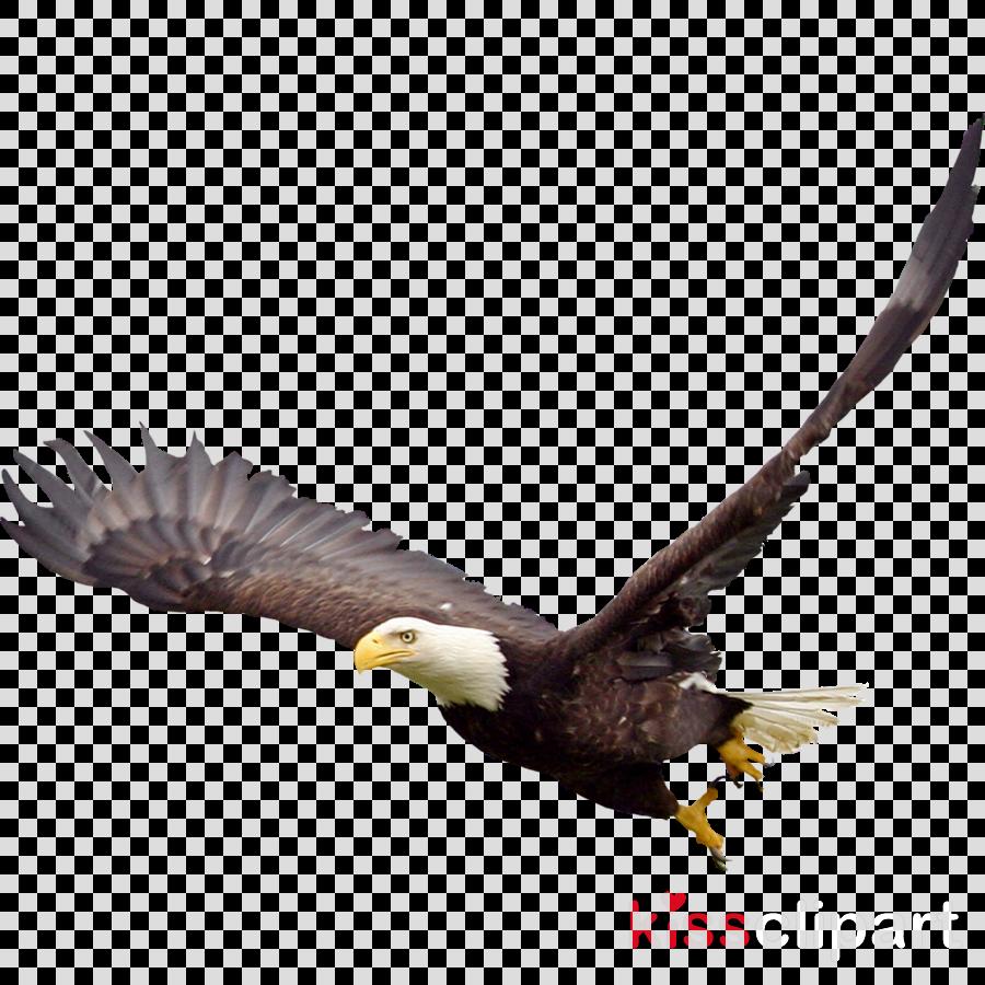 bald eagle png clipart Bald eagle Clip art