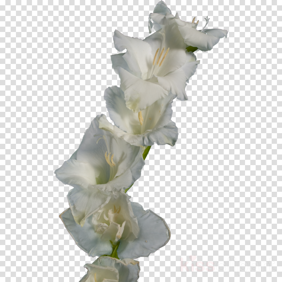 Gladiolus clipart Gladiolus Iris family Flower