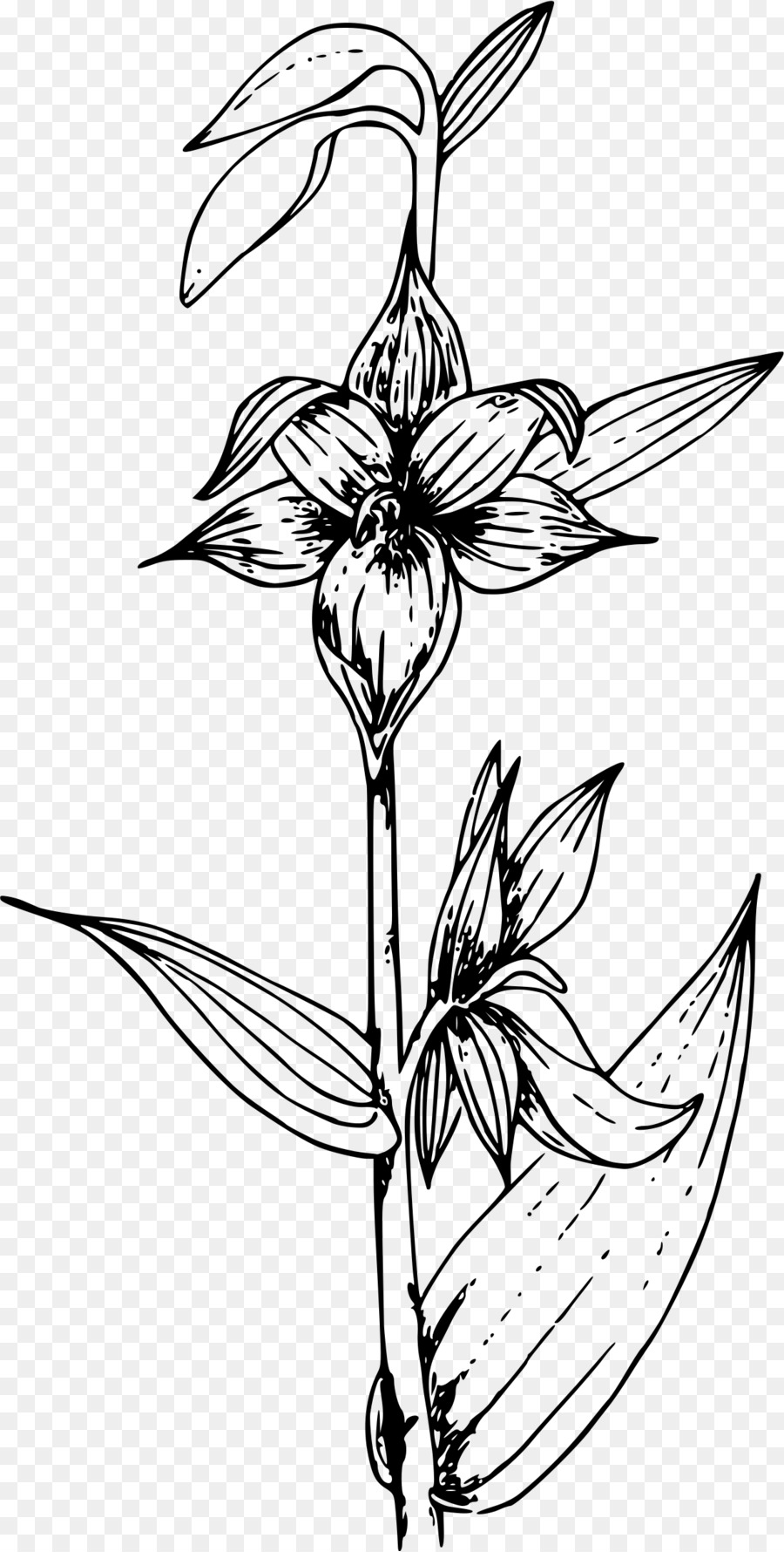 Download orchid coloring pages clipart Stream orchid Cypripedium ...