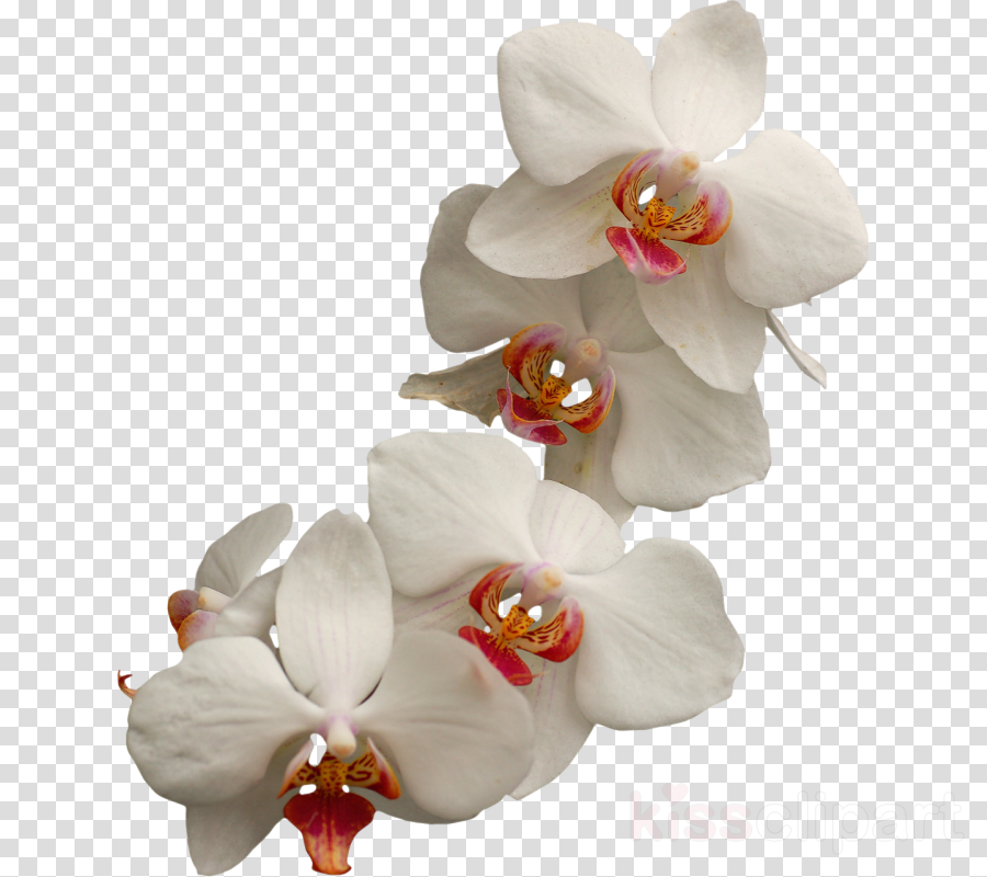 Orchids clipart Moth orchids Clip art