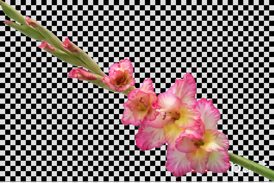 гладиолус png clipart Gladiolus Flower Clip art