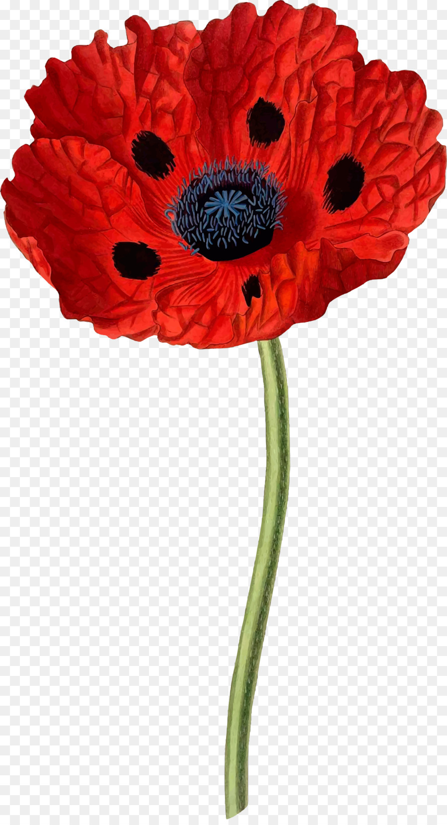 Download Poppy Vintage Print Clipart Common Poppy Opium Poppy