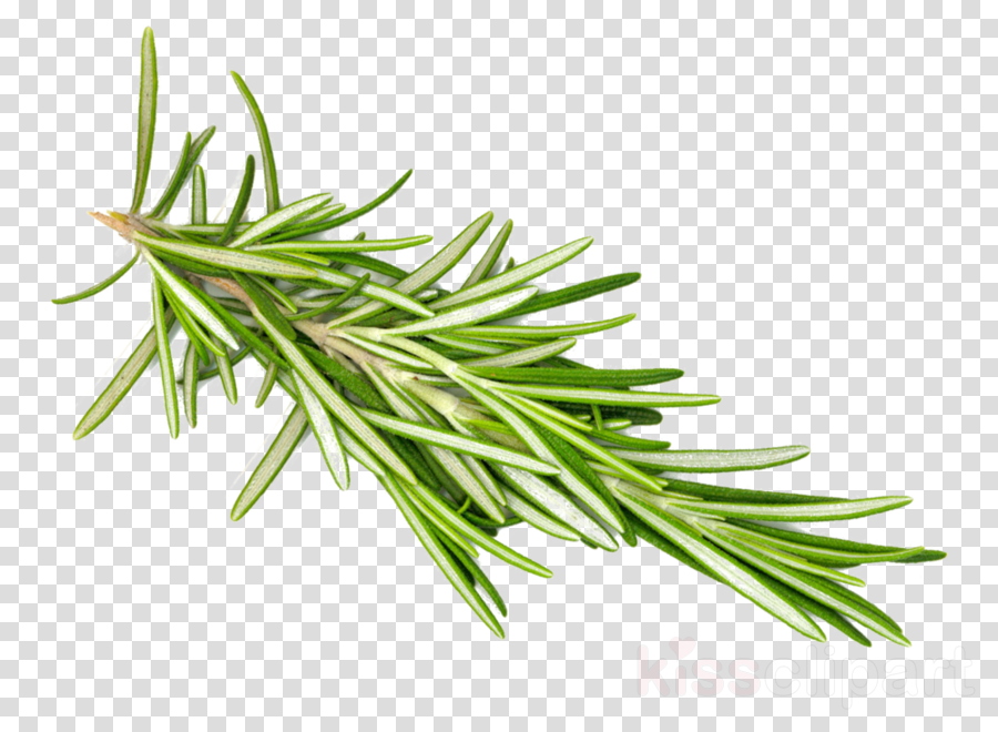 rosemary herbs png clipart Rosemary Herb Spice