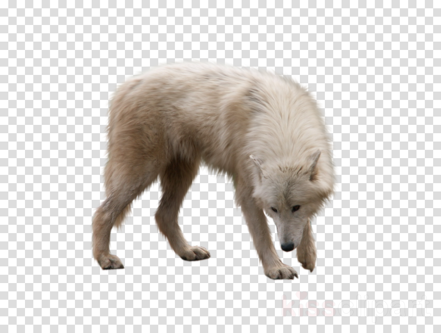 arctic fox png clipart Wolf Arctic fox