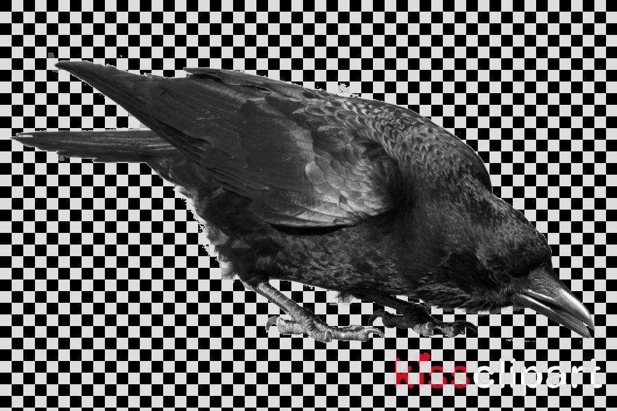 raven .png clipart Common raven Clip art