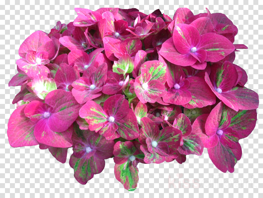 cut flowers clipart French hydrangea Cut flowers