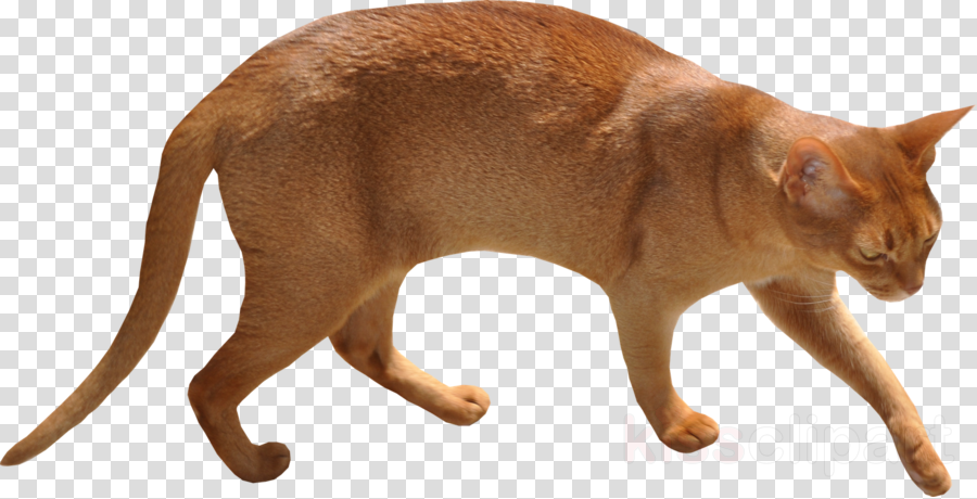 cat walks with arched back clipart Abyssinian cat Kitten Clip art