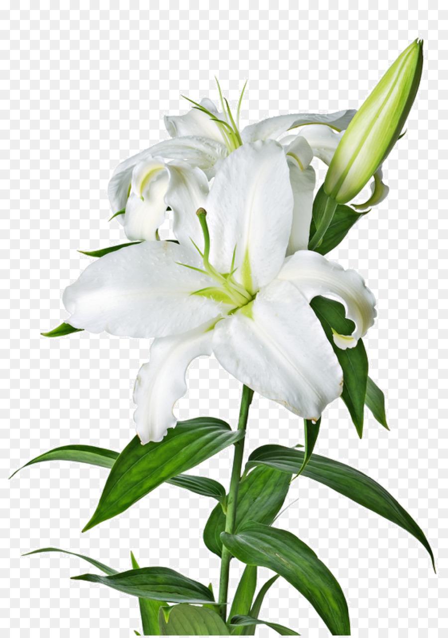 bunga lili clipart Lilies Madonna Lily Flower
