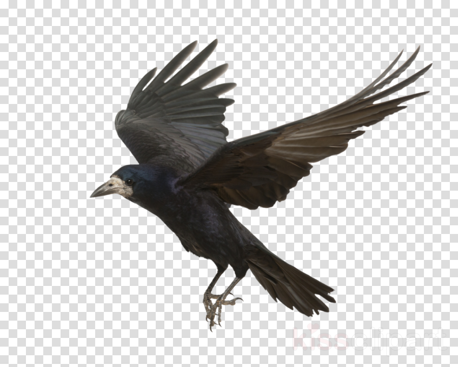 crow flying clipart Rook Bird Common raven