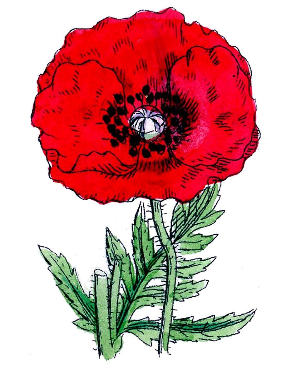 Poppy images free download poppy clipart free download on download clip art poppy clipart poppy clip art poppy flower mightylinksfo