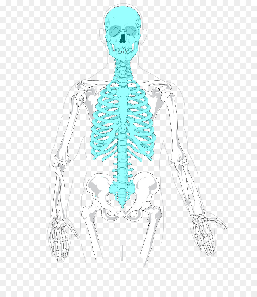 Axial Skeleton Diagram Unlabeled Topsimages