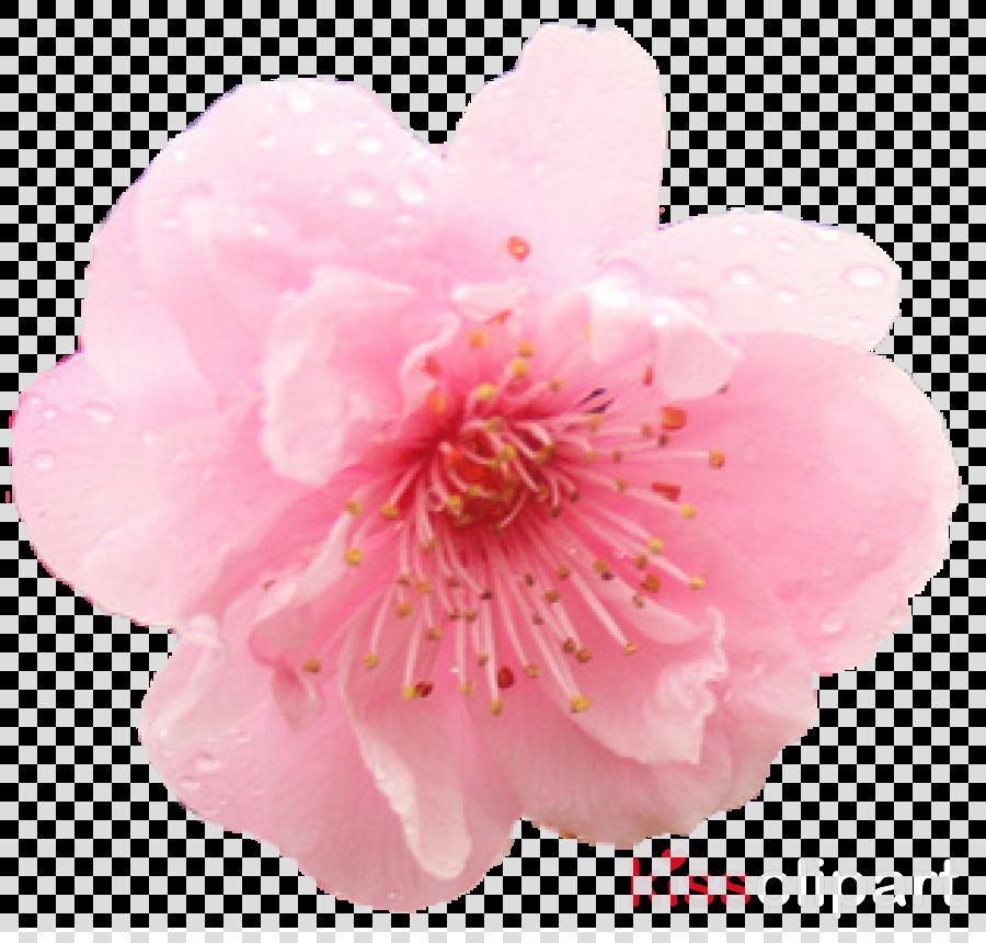 single cherry blossom png clipart Cherry blossom