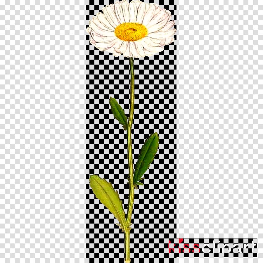 daisy clipart Common daisy Clip art