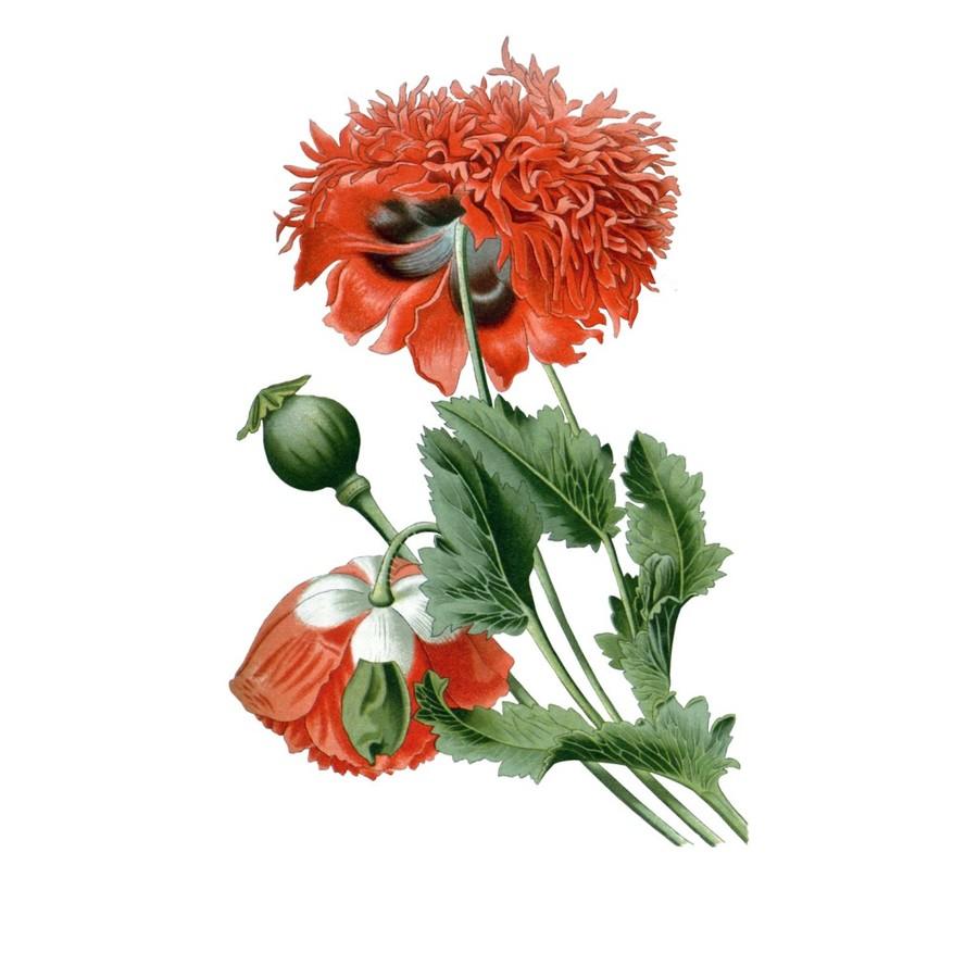 Download Opium Poppy Botanical Illustration Clipart Opium Poppy