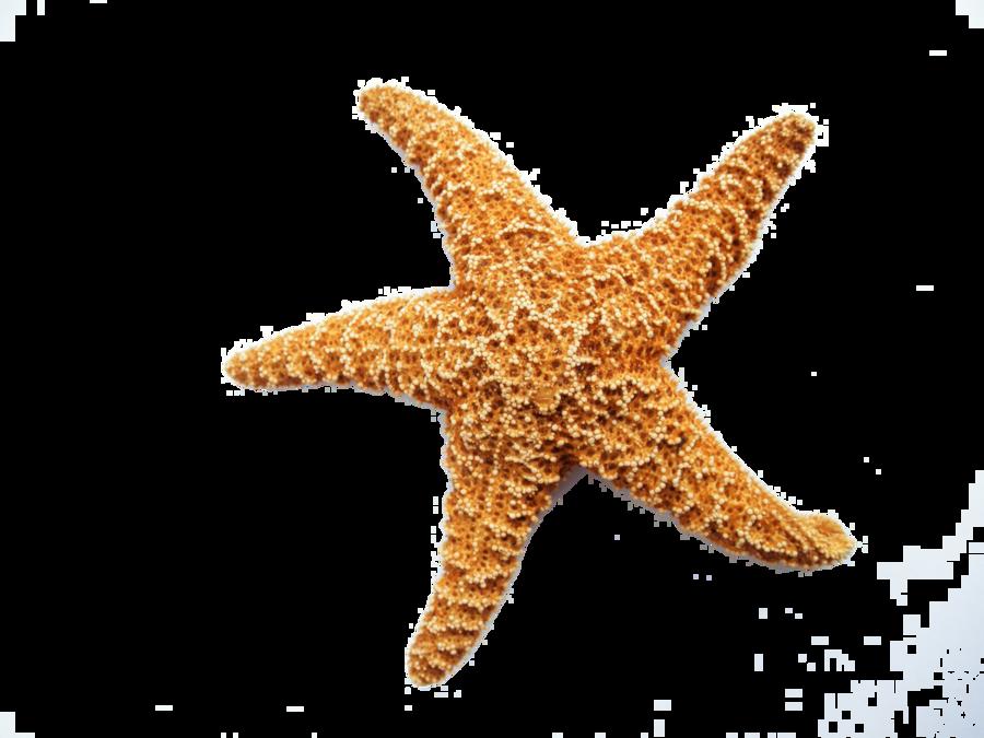 Starfish clear background. Cartoon clipart transparent clip