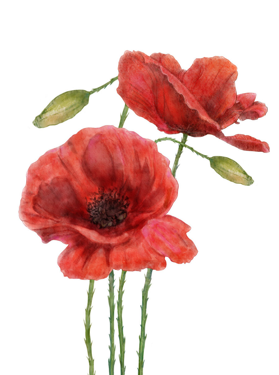 Download Watercolor Poppy Painting Png Clipart Poppy Flowers