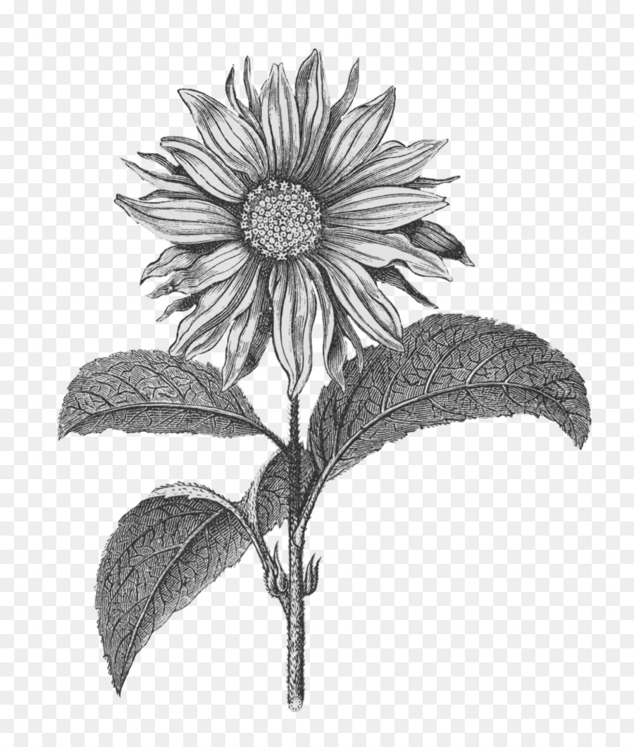 Sunflower Clipart Black And White Png