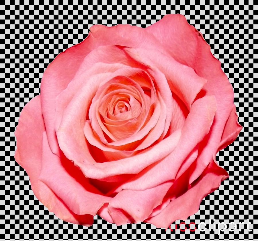 pink rose png clipart Rose Clip art