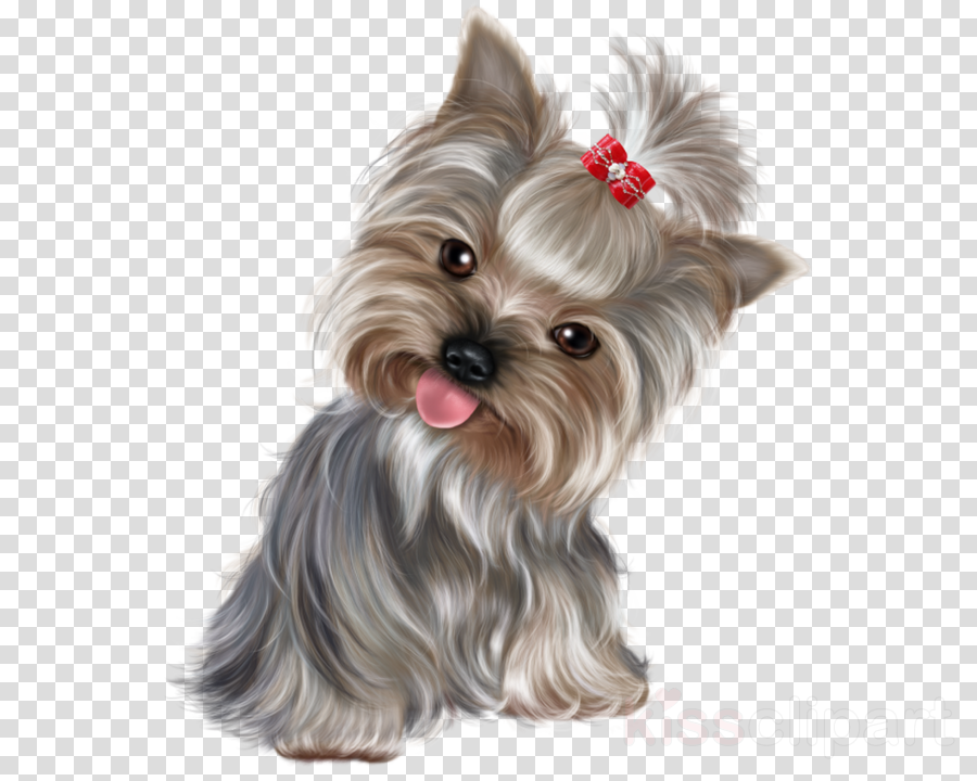 yorkshire terrier png clipart Yorkshire Terrier Puppy Boston Terrier