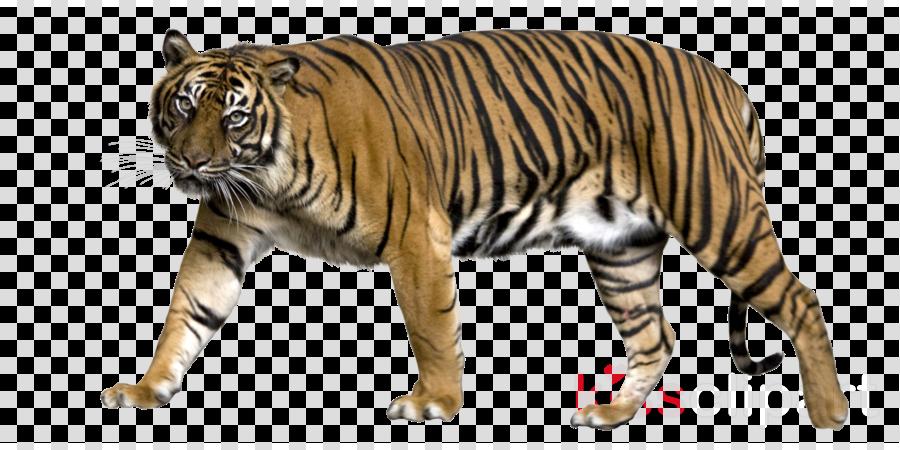 sumatran tiger clipart Felidae Lion Leopard